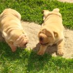 Getting a Shar Pei Puppy