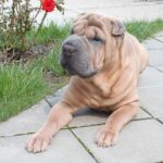 What You Should Know Before Getting a Shar Pei